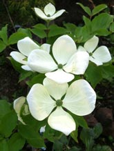Eddie's White Wonder Dogwood