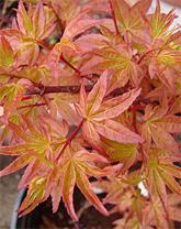 Wildwood Nursery Sf Bay Area Dwarf Japanese Maples For