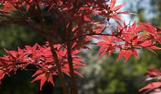 Acer Palmatum Dwarf Japanese Maples
