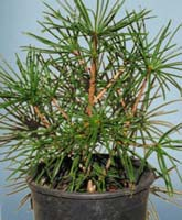 Sciadopitys (Umbrella Pine)