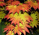 "Acer shirasawanum ""Autumn Moon"""